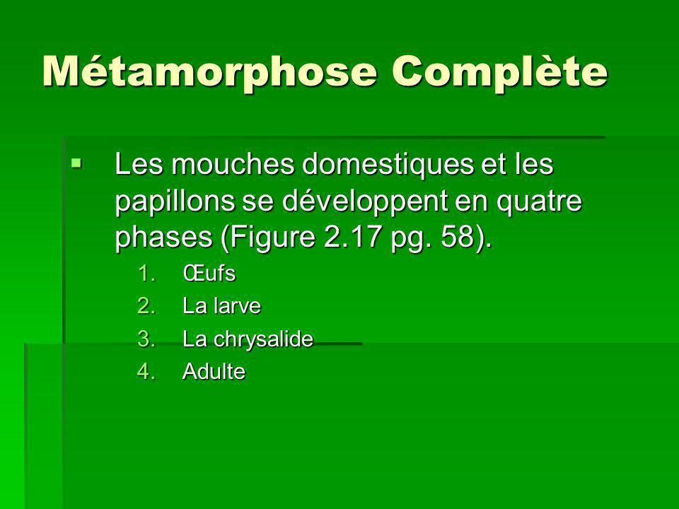 Métamorphose Complète Les mouches domestiques et les papillons se développent en quatre phases (Figure 2.17 pg. 58). Les mouches domestiques et les pa