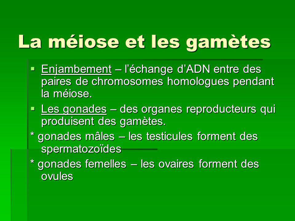 Mitose et Méiose Il ny a pas de réplication entre la méiose I et la méiose II, mais une réduction de la moitié du nombre de chromosomes présents dans chaque cellule.
