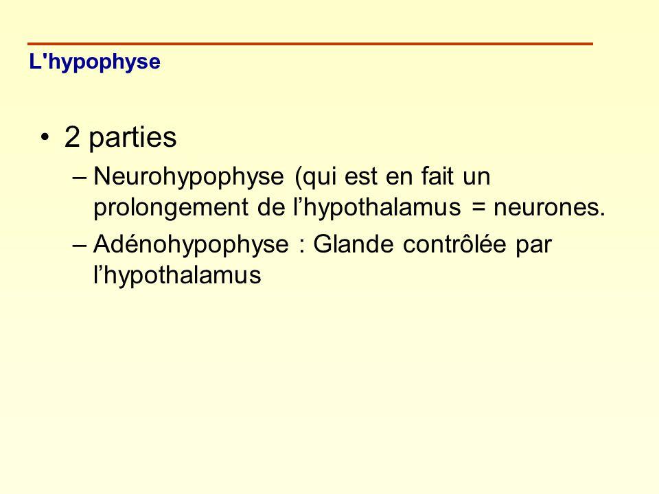 2 parties –Neurohypophyse (qui est en fait un prolongement de lhypothalamus = neurones. –Adénohypophyse : Glande contrôlée par lhypothalamus L'hypophy