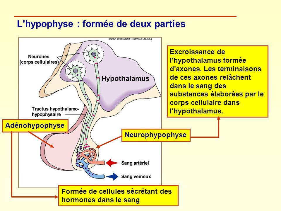 L'hypophyse : formée de deux parties AdénohypophyseNeurophypophyse Formée de cellules sécrétant des hormones dans le sang Excroissance de l'hypothalam