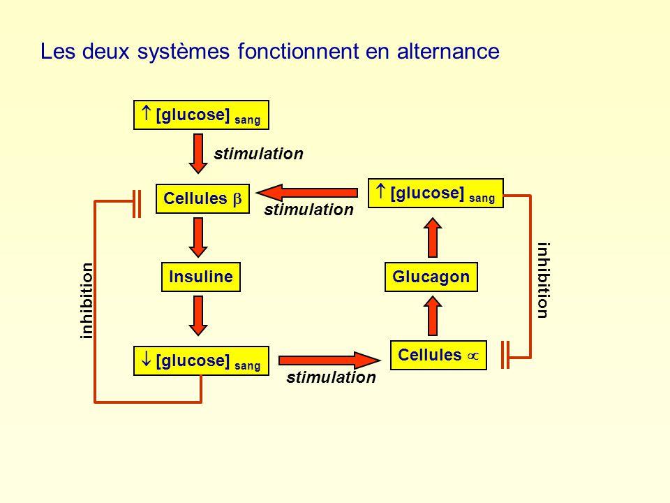 Insuline [glucose] sang Cellules stimulation [glucose] sang Glucagon Cellules stimulation [glucose] sang inhibition Les deux systèmes fonctionnent en alternance stimulation