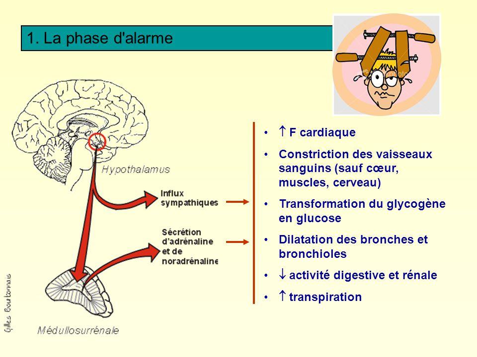 1. La phase d'alarme F cardiaque Constriction des vaisseaux sanguins (sauf cœur, muscles, cerveau) Transformation du glycogène en glucose Dilatation d
