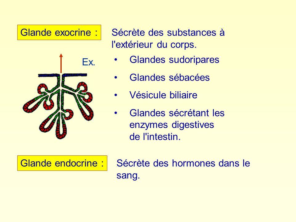 Glande exocrine : Glande endocrine : Sécrète des substances à l'extérieur du corps. Glandes sudoripares Glandes sébacées Vésicule biliaire Glandes séc