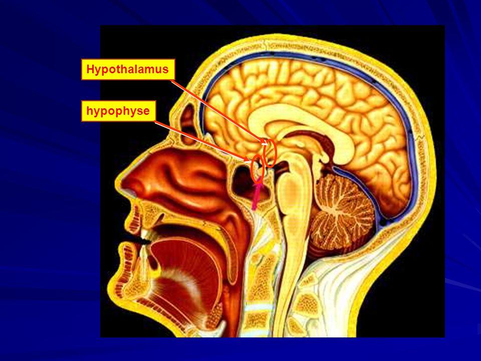 hypophyseHypothalamushypophyse