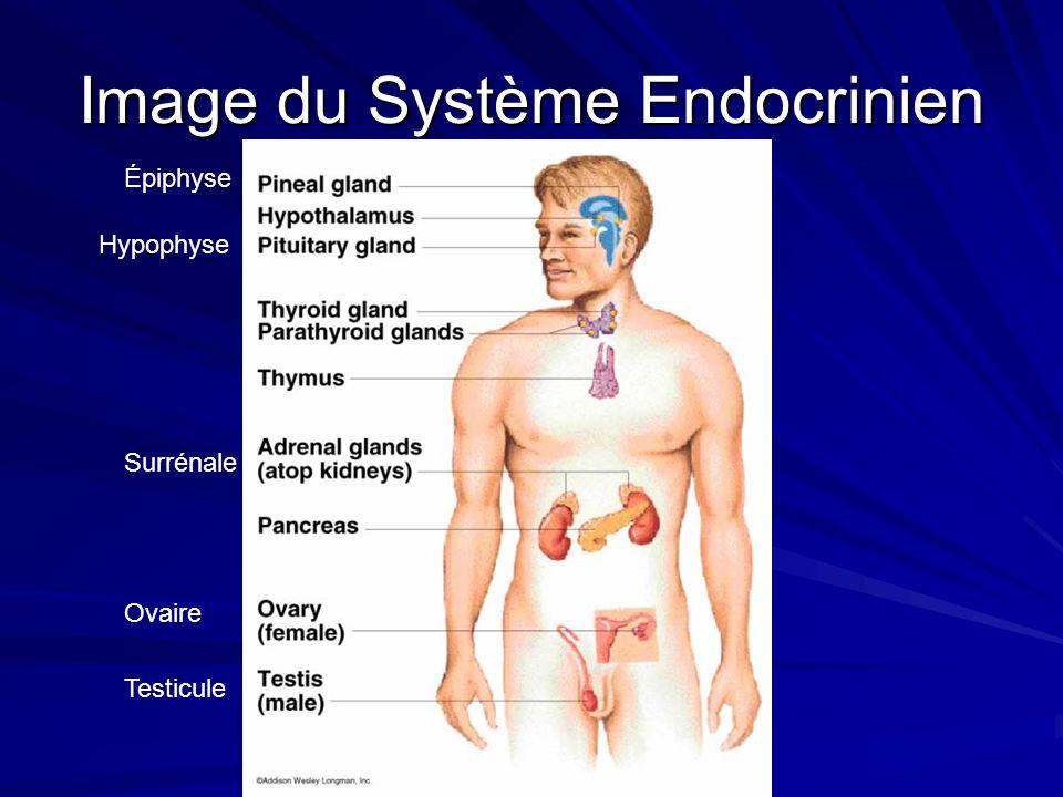 Image du Système Endocrinien Épiphyse Hypophyse Surrénale Ovaire Testicule