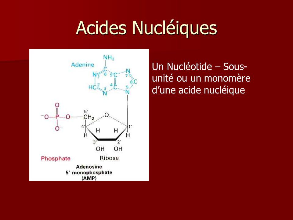 Acides Nucléiques Un Nucléotide – Sous- unité ou un monomère dune acide nucléique
