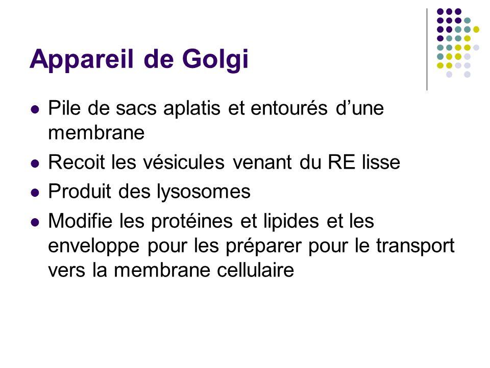Appareil de Golgi Pile de sacs aplatis et entourés dune membrane Recoit les vésicules venant du RE lisse Produit des lysosomes Modifie les protéines e