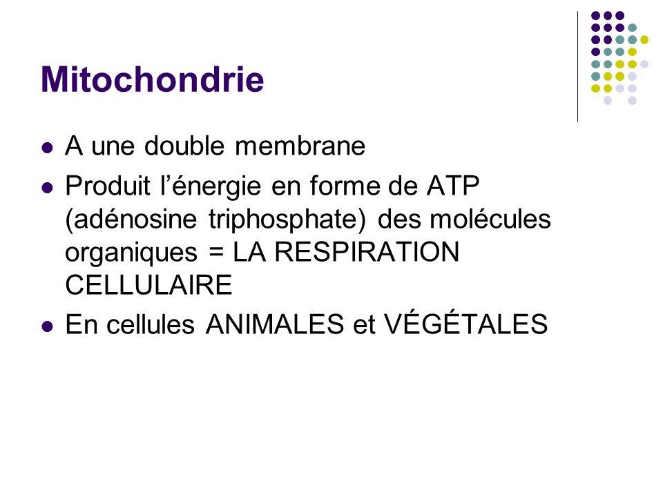 Mitochondrie A une double membrane Produit lénergie en forme de ATP (adénosine triphosphate) des molécules organiques = LA RESPIRATION CELLULAIRE En c