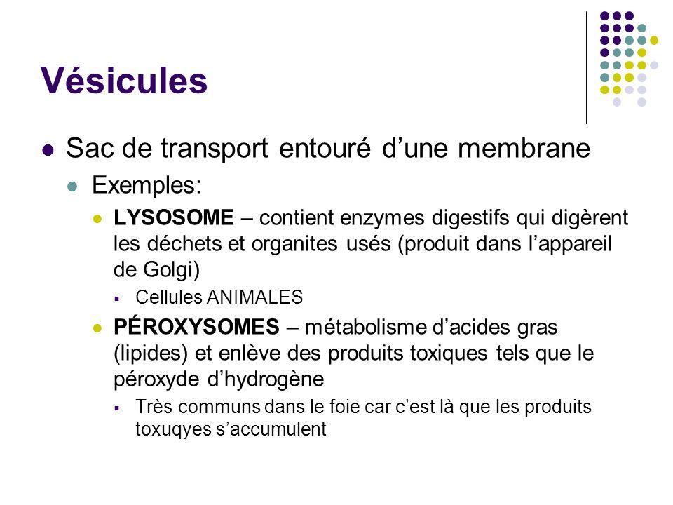 Vésicules Sac de transport entouré dune membrane Exemples: LYSOSOME – contient enzymes digestifs qui digèrent les déchets et organites usés (produit d