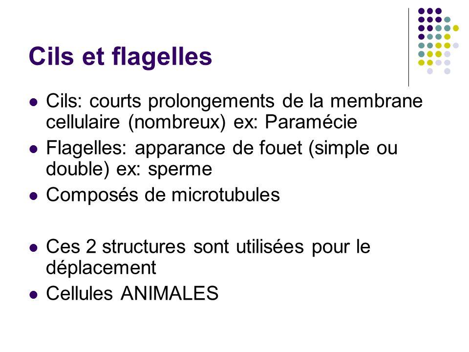 Cils et flagelles Cils: courts prolongements de la membrane cellulaire (nombreux) ex: Paramécie Flagelles: apparance de fouet (simple ou double) ex: s