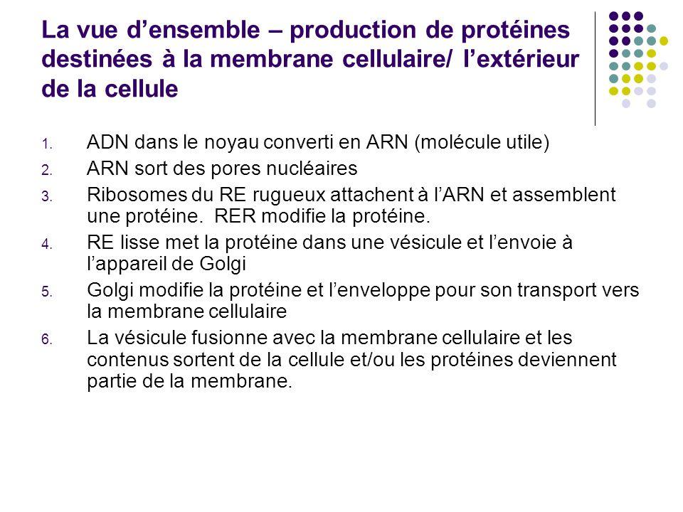 La vue densemble – production de protéines destinées à la membrane cellulaire/ lextérieur de la cellule 1. ADN dans le noyau converti en ARN (molécule
