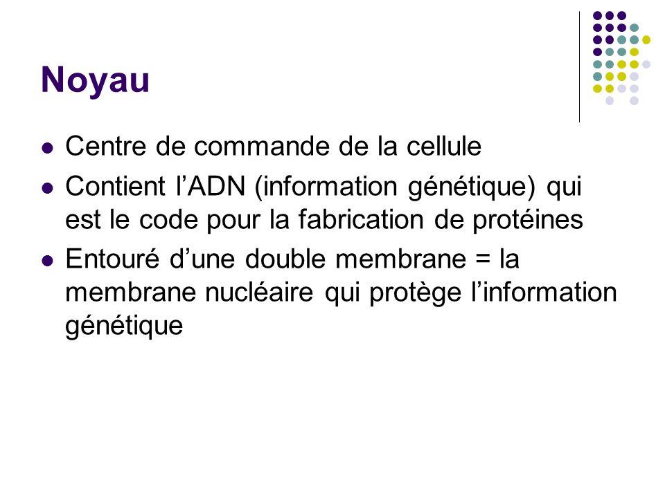 Noyau Centre de commande de la cellule Contient lADN (information génétique) qui est le code pour la fabrication de protéines Entouré dune double memb