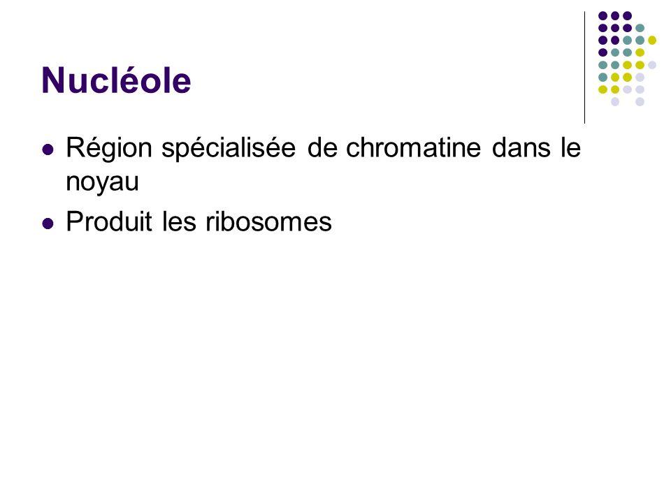 Nucléole Région spécialisée de chromatine dans le noyau Produit les ribosomes