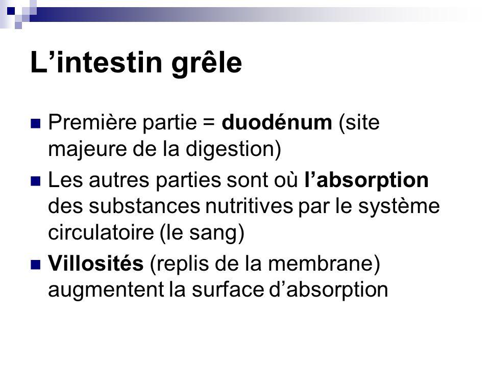 Lintestin grêle Première partie = duodénum (site majeure de la digestion) Les autres parties sont où labsorption des substances nutritives par le syst