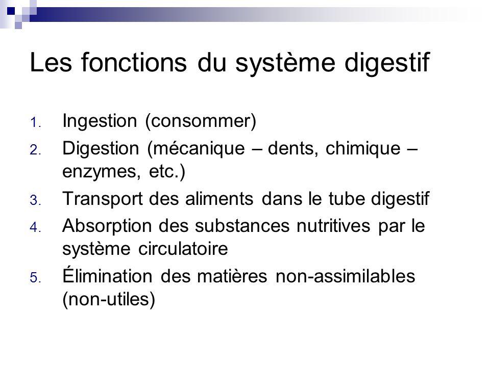 Les fonctions du système digestif 1. Ingestion (consommer) 2. Digestion (mécanique – dents, chimique – enzymes, etc.) 3. Transport des aliments dans l