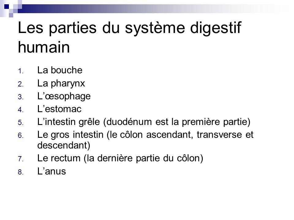 Les parties du système digestif humain 1. La bouche 2. La pharynx 3. Lœsophage 4. Lestomac 5. Lintestin grêle (duodénum est la première partie) 6. Le
