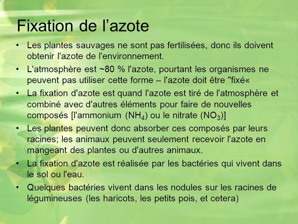 Fixation de lazote Les plantes sauvages ne sont pas fertilisées, donc ils doivent obtenir l azote de l environnement.