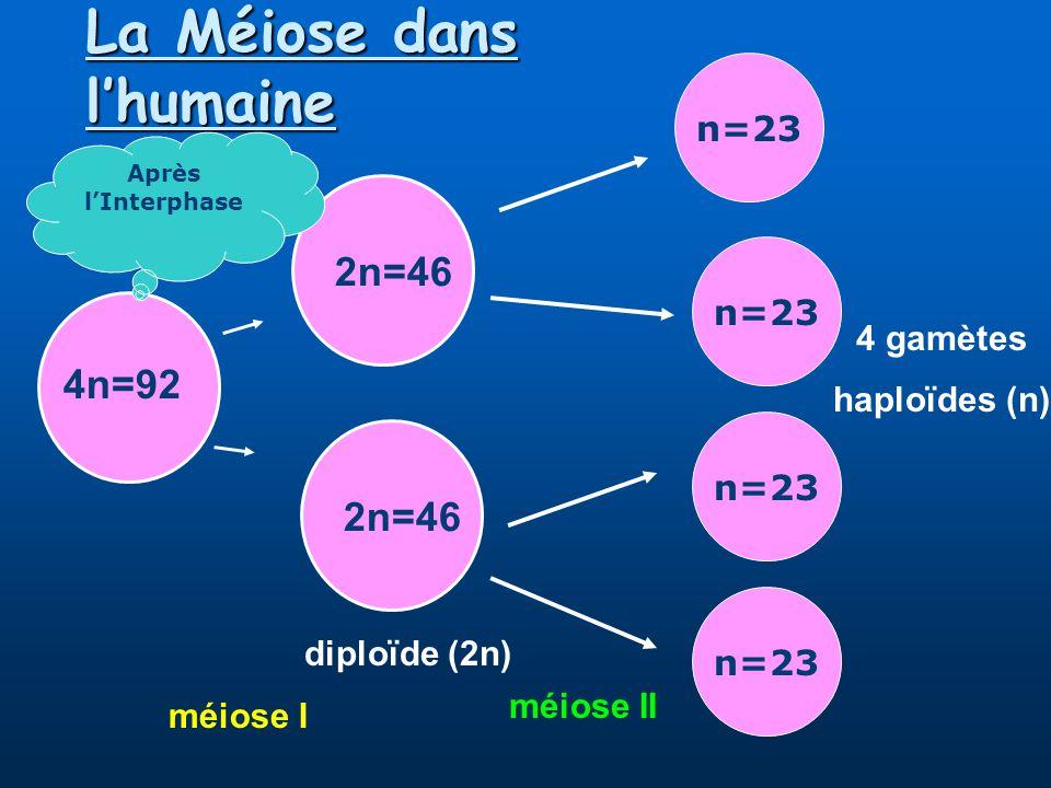 La Méiose dans lhumaine 4n=92 2n=46 méiose I n=23 méiose II 4 gamètes haploïdes (n) Après lInterphase diploïde (2n)