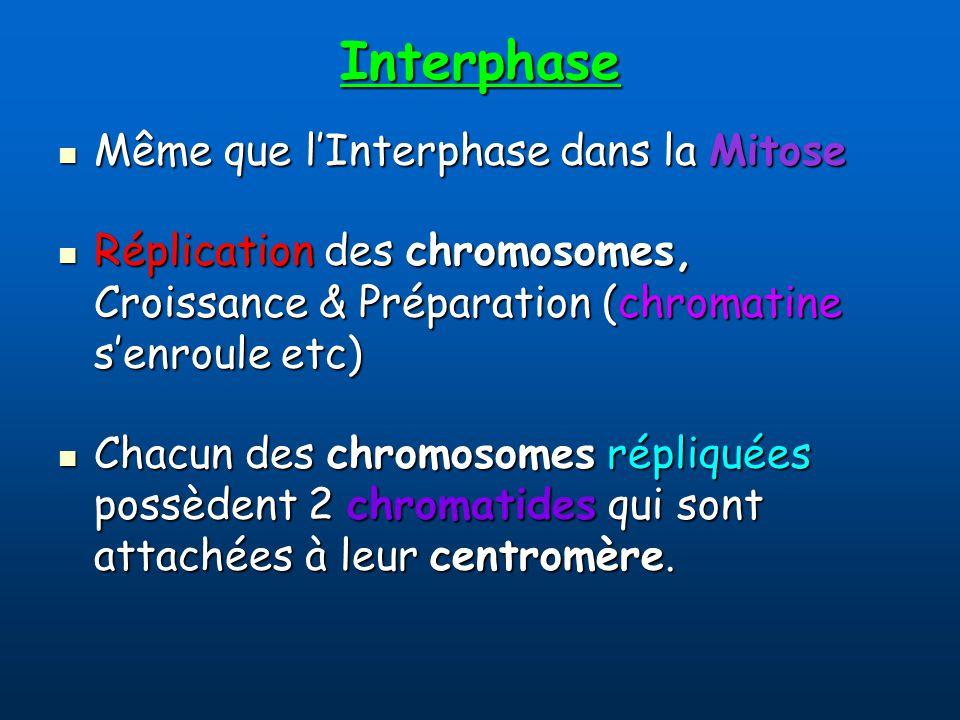 Interphase Même que lInterphase dans la Mitose Même que lInterphase dans la Mitose Réplication des chromosomes, Croissance & Préparation (chromatine senroule etc) Réplication des chromosomes, Croissance & Préparation (chromatine senroule etc) Chacun des chromosomes répliquées possèdent 2 chromatides qui sont attachées à leur centromère.