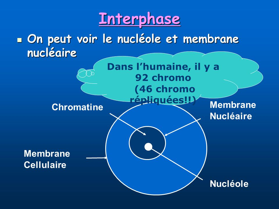 Interphase On peut voir le nucléole et membrane nucléaire On peut voir le nucléole et membrane nucléaire Membrane Nucléaire Nucléole Membrane Cellulaire Chromatine Dans lhumaine, il y a 92 chromo (46 chromo répliquées!!)