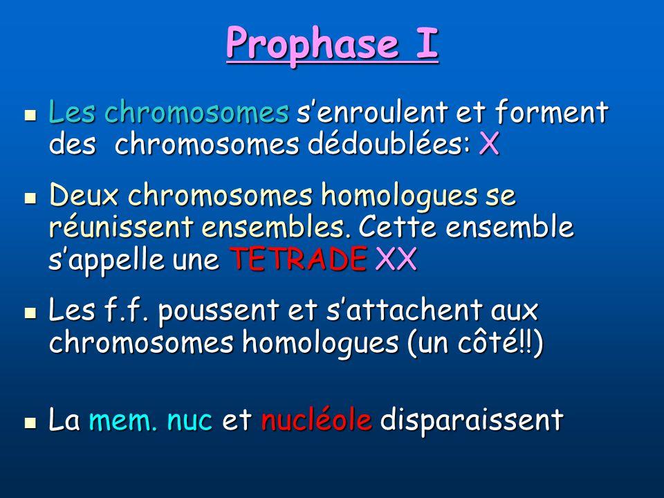 Prophase I Les chromosomes senroulent et forment des chromosomes dédoublées: X Les chromosomes senroulent et forment des chromosomes dédoublées: X Deux chromosomes homologues se réunissent ensembles.
