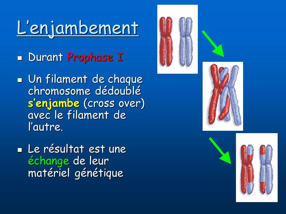 Lenjambement Durant Prophase I Durant Prophase I Un filament de chaque chromosome dédoublé senjambe (cross over) avec le filament de lautre.