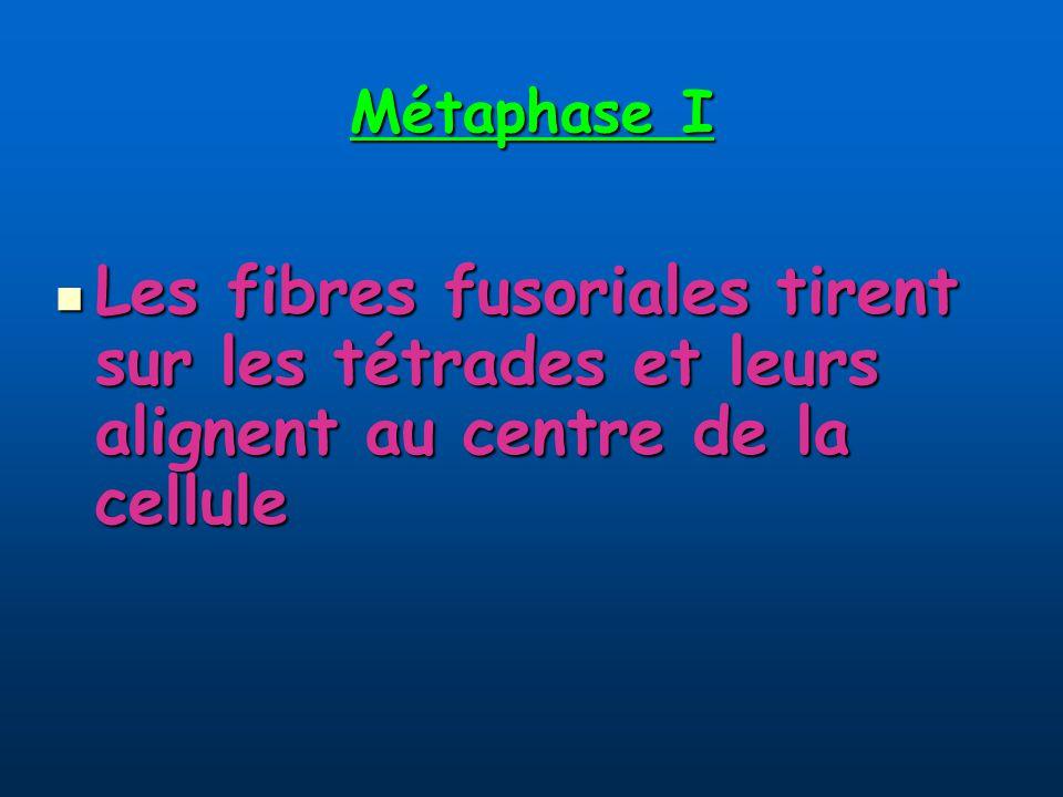 Métaphase I Les fibres fusoriales tirent sur les tétrades et leurs alignent au centre de la cellule Les fibres fusoriales tirent sur les tétrades et leurs alignent au centre de la cellule