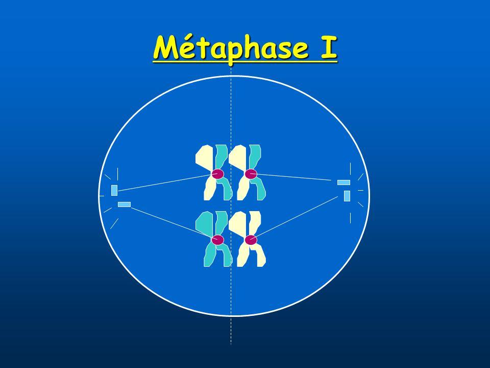 Métaphase I