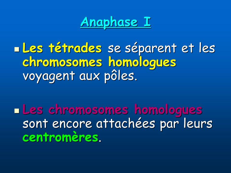 Anaphase I Les tétrades se séparent et les chromosomes homologues voyagent aux pôles.