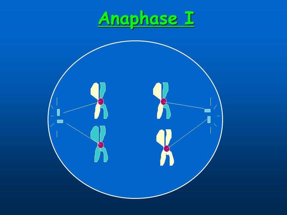 Anaphase I