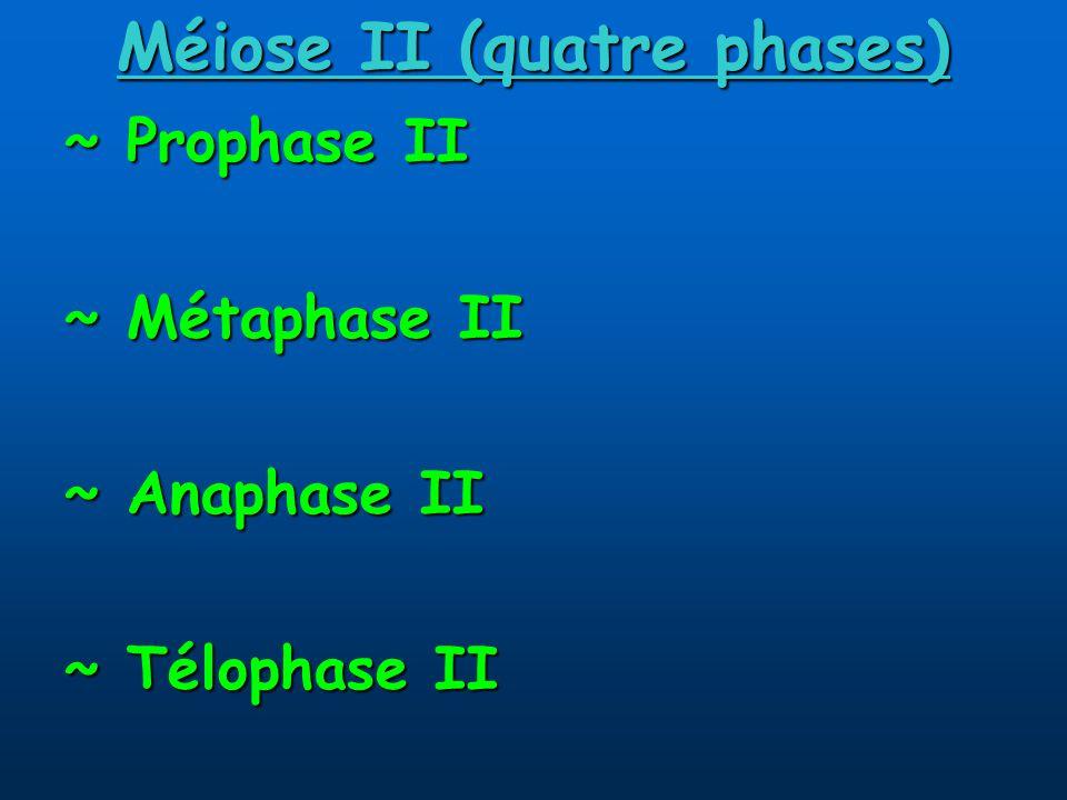 Méiose II (quatre phases) ~ Prophase II ~ Métaphase II ~ Anaphase II ~ Télophase II
