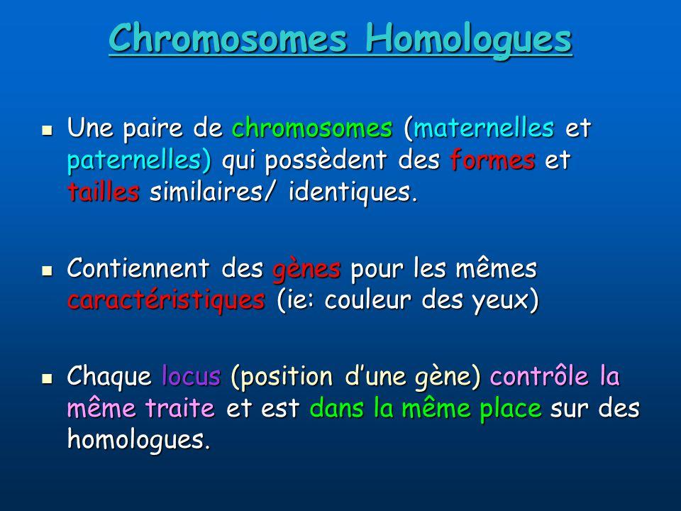 Chromosomes Homologues Une paire de chromosomes (maternelles et paternelles) qui possèdent des formes et tailles similaires/ identiques.