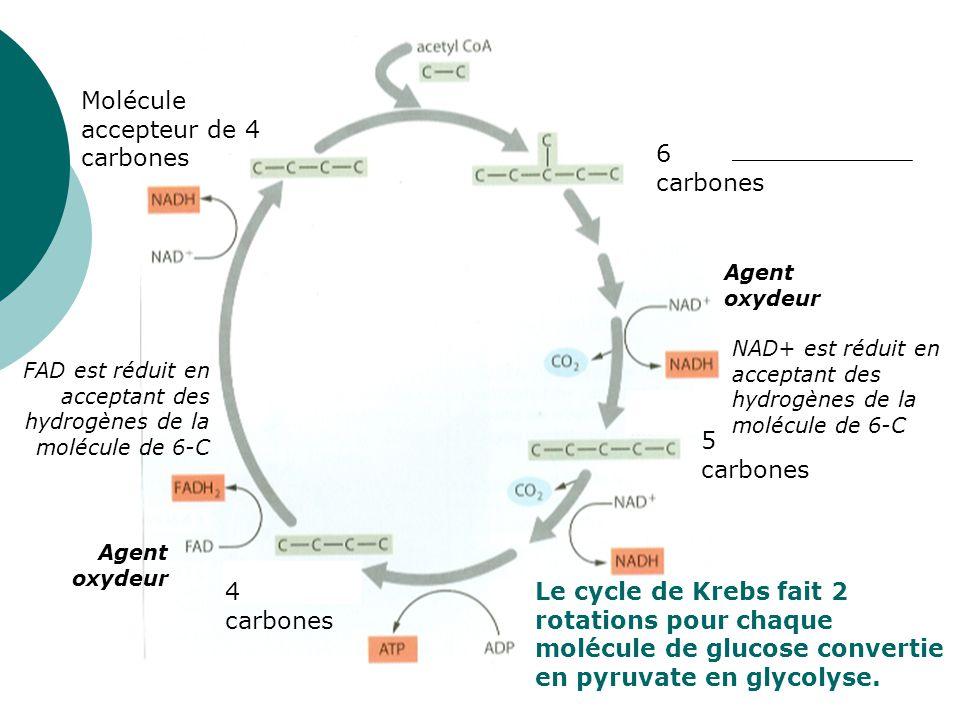 6 carbones 5 carbones 4 carbones Molécule accepteur de 4 carbones Agent oxydeur NAD+ est réduit en acceptant des hydrogènes de la molécule de 6-C Agen