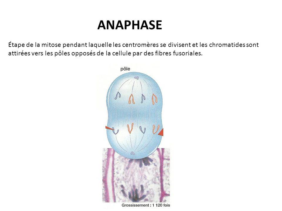 ANAPHASE Étape de la mitose pendant laquelle les centromères se divisent et les chromatides sont attirées vers les pôles opposés de la cellule par des fibres fusoriales.