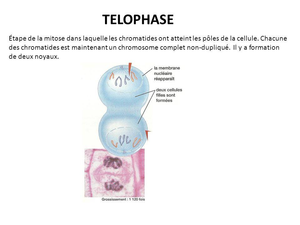 TELOPHASE Étape de la mitose dans laquelle les chromatides ont atteint les pôles de la cellule.