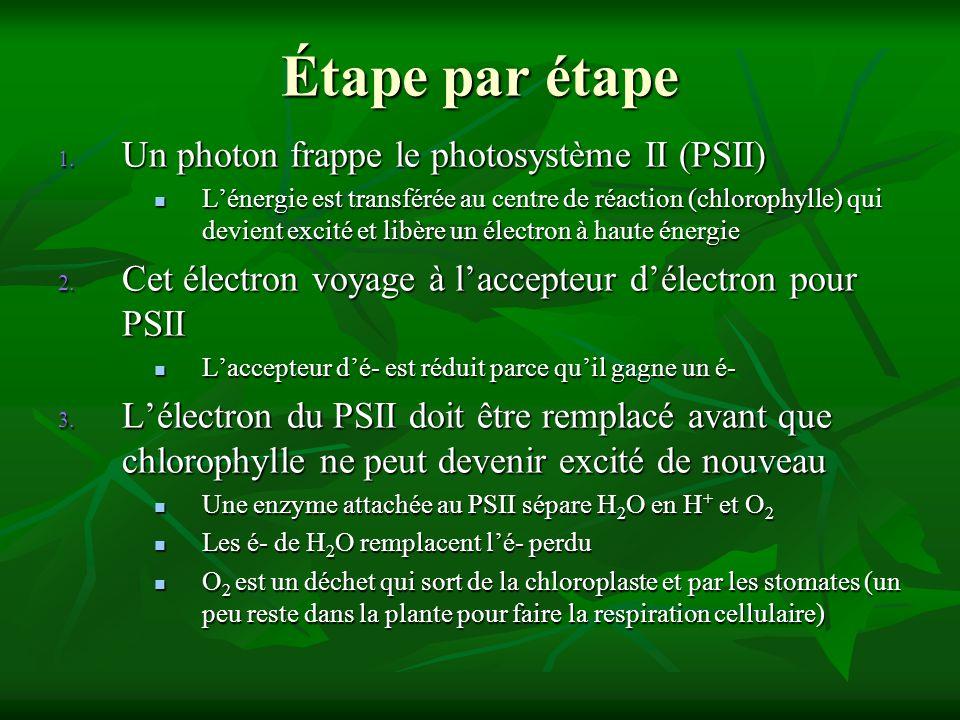 Étape par étape 1. Un photon frappe le photosystème II (PSII) Lénergie est transférée au centre de réaction (chlorophylle) qui devient excité et libèr