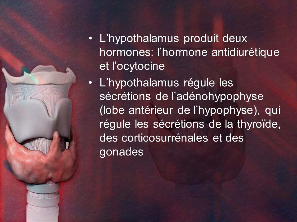 Lhypothalamus produit deux hormones: lhormone antidiurétique et locytocine Lhypothalamus régule les sécrétions de ladénohypophyse (lobe antérieur de lhypophyse), qui régule les sécrétions de la thyroïde, des corticosurrénales et des gonades