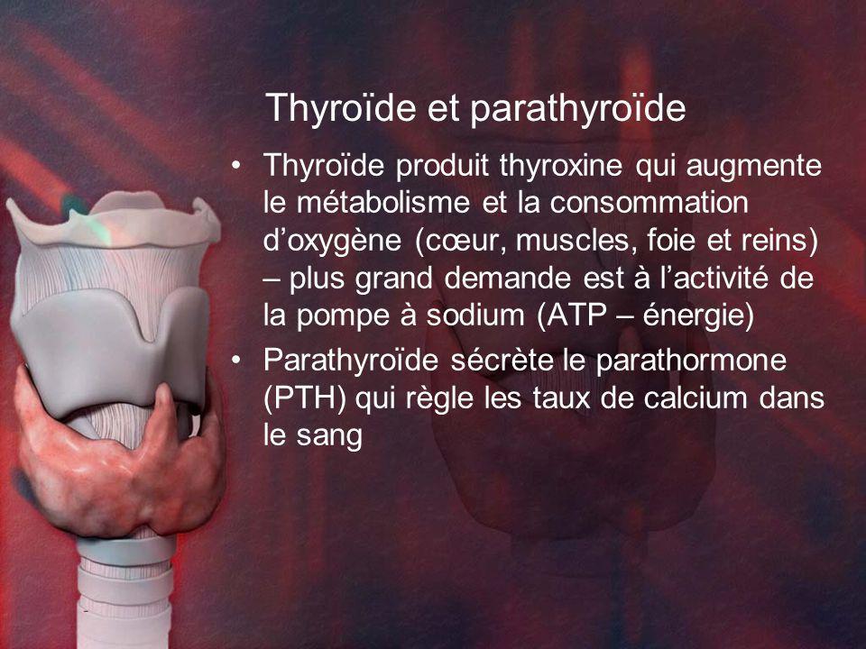 Thyroïde et parathyroïde Thyroïde produit thyroxine qui augmente le métabolisme et la consommation doxygène (cœur, muscles, foie et reins) – plus grand demande est à lactivité de la pompe à sodium (ATP – énergie) Parathyroïde sécrète le parathormone (PTH) qui règle les taux de calcium dans le sang