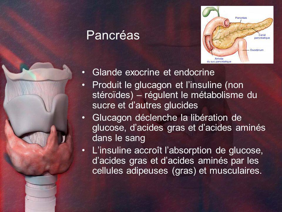 Pancréas Glande exocrine et endocrine Produit le glucagon et linsuline (non stéroïdes) – régulent le métabolisme du sucre et dautres glucides Glucagon