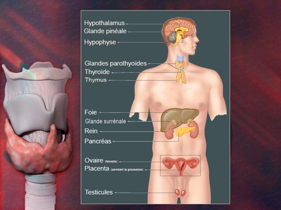 Principales glandes endocrines Cerveau: Hypophyse Épiphyse Cou: Thyroïde Parathyroïde Abdomen: Surrénales Pancréas Gonades: Ovaires Testicules