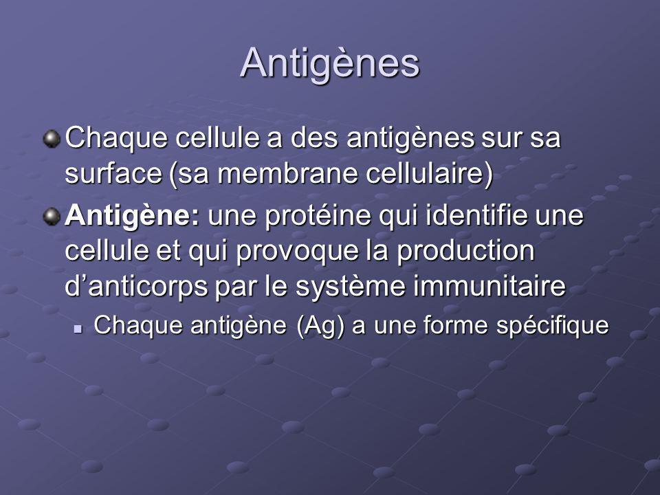 Anticorps Anticorps: une glycoprotéine (protéine + hydrate de carbone) qui attache aux antigènes et mène à leur déstruction Produits par les lymphocytes B du système immunitaire Produits par les lymphocytes B du système immunitaire Spécifiques pour un antigène (la forme de lantigène doit être complémentaire à celle de lanticorps) Spécifiques pour un antigène (la forme de lantigène doit être complémentaire à celle de lanticorps) Lanticorps sattache aux antigènes = complex antigène-anticorps Lanticorps sattache aux antigènes = complex antigène-anticorps Le système immunitaire lélimine