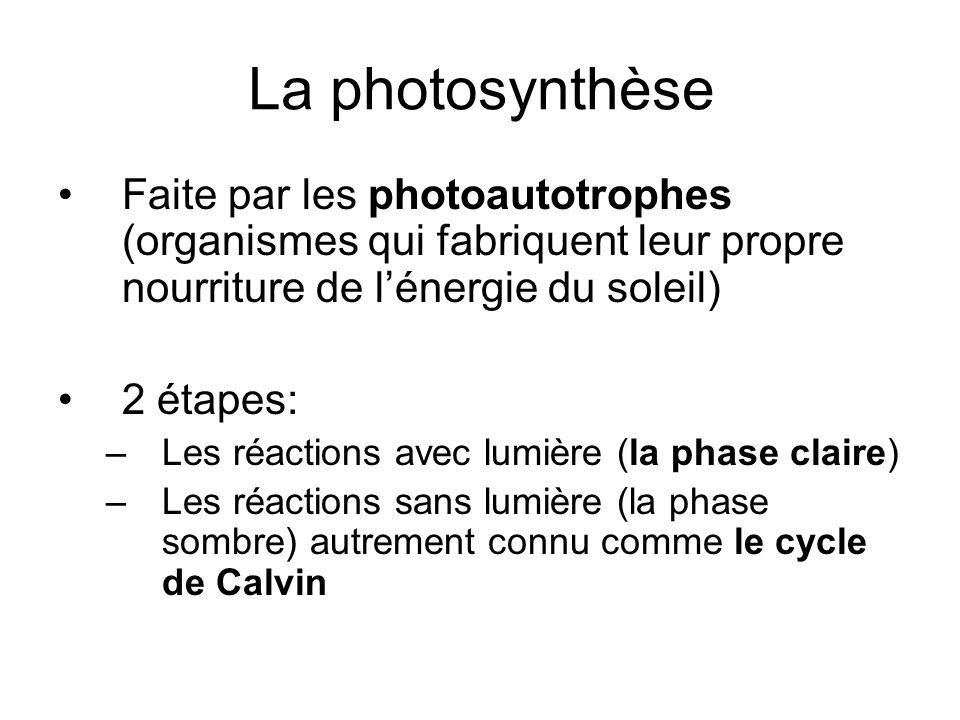 La photosynthèse Faite par les photoautotrophes (organismes qui fabriquent leur propre nourriture de lénergie du soleil) 2 étapes: –Les réactions avec