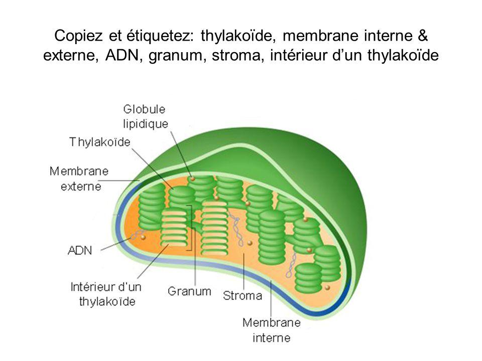 Copiez et étiquetez: thylakoïde, membrane interne & externe, ADN, granum, stroma, intérieur dun thylakoïde