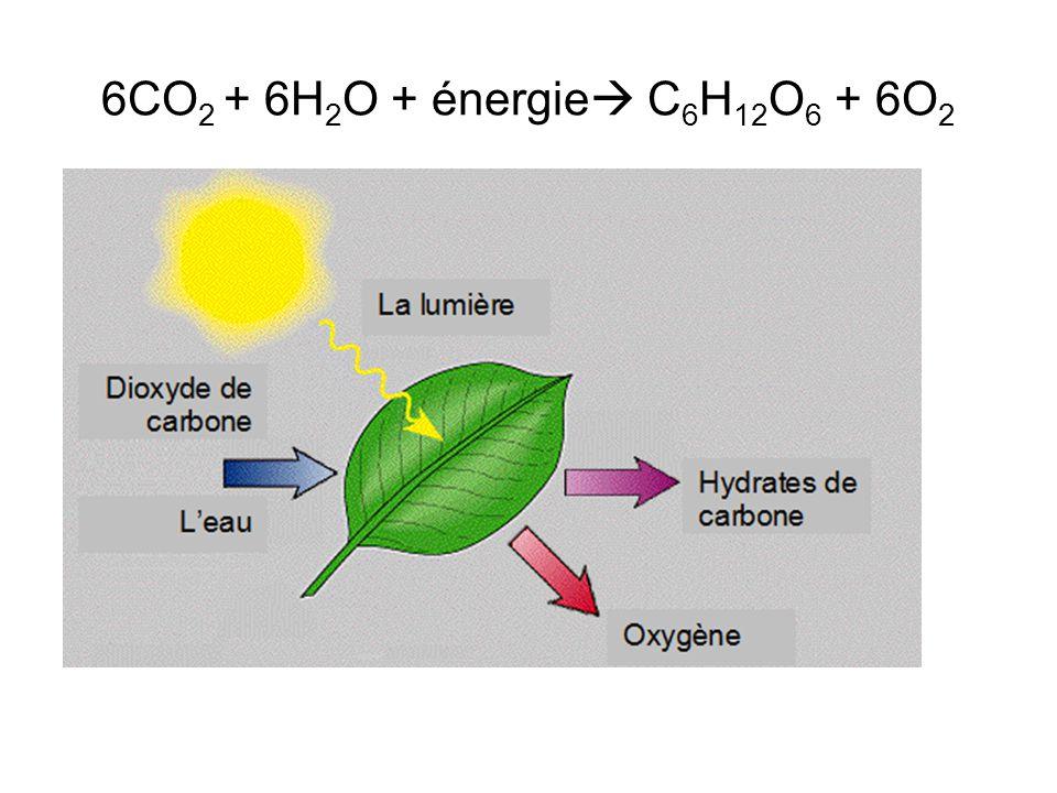 6CO 2 + 6H 2 O + énergie C 6 H 12 O 6 + 6O 2