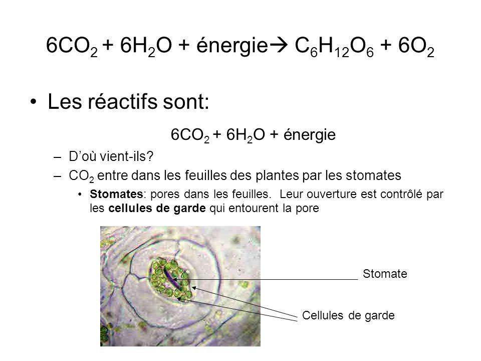 6CO 2 + 6H 2 O + énergie C 6 H 12 O 6 + 6O 2 Les réactifs sont: 6CO 2 + 6H 2 O + énergie –Doù vient-ils? –CO 2 entre dans les feuilles des plantes par