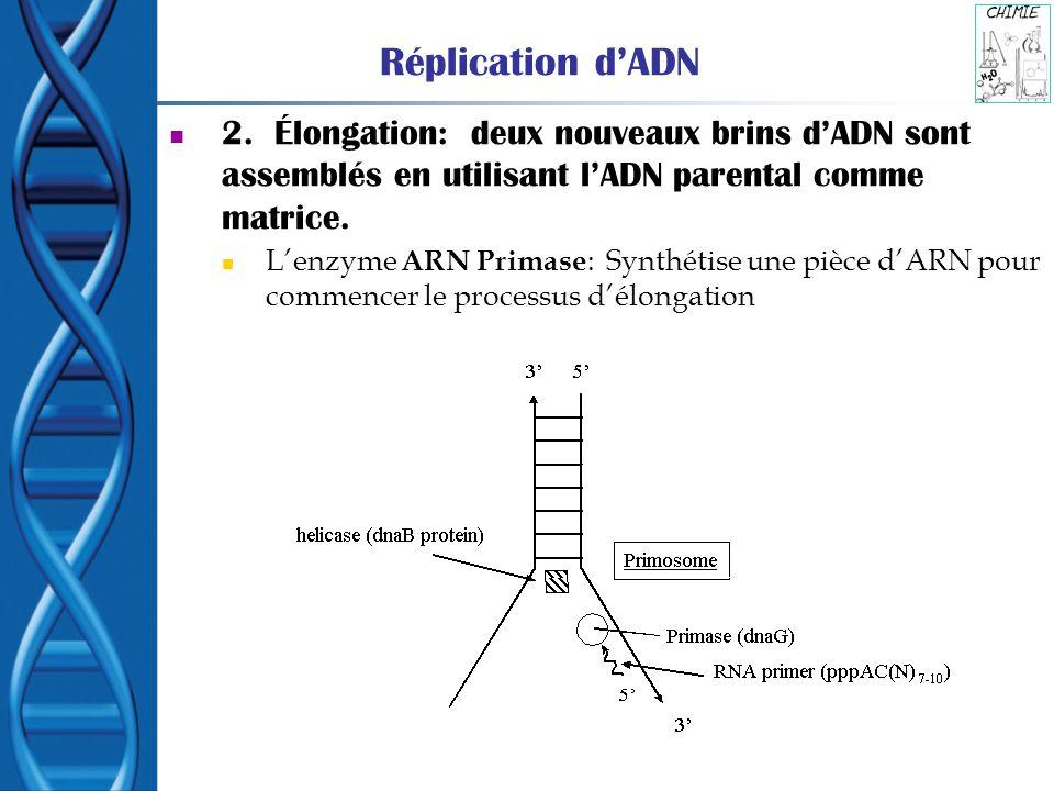 Réplication dADN 2. Élongation: deux nouveaux brins dADN sont assemblés en utilisant lADN parental comme matrice. Lenzyme ARN Primase : Synthétise une