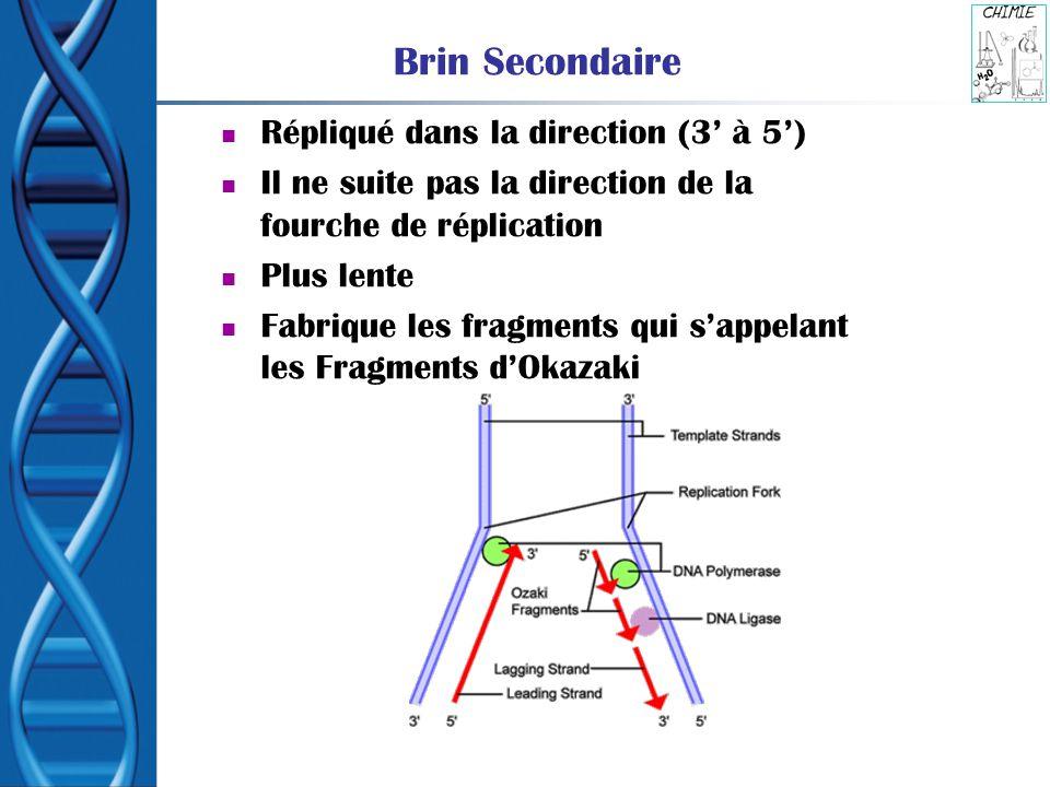 Brin Secondaire Répliqué dans la direction (3 à 5) Il ne suite pas la direction de la fourche de réplication Plus lente Fabrique les fragments qui sap