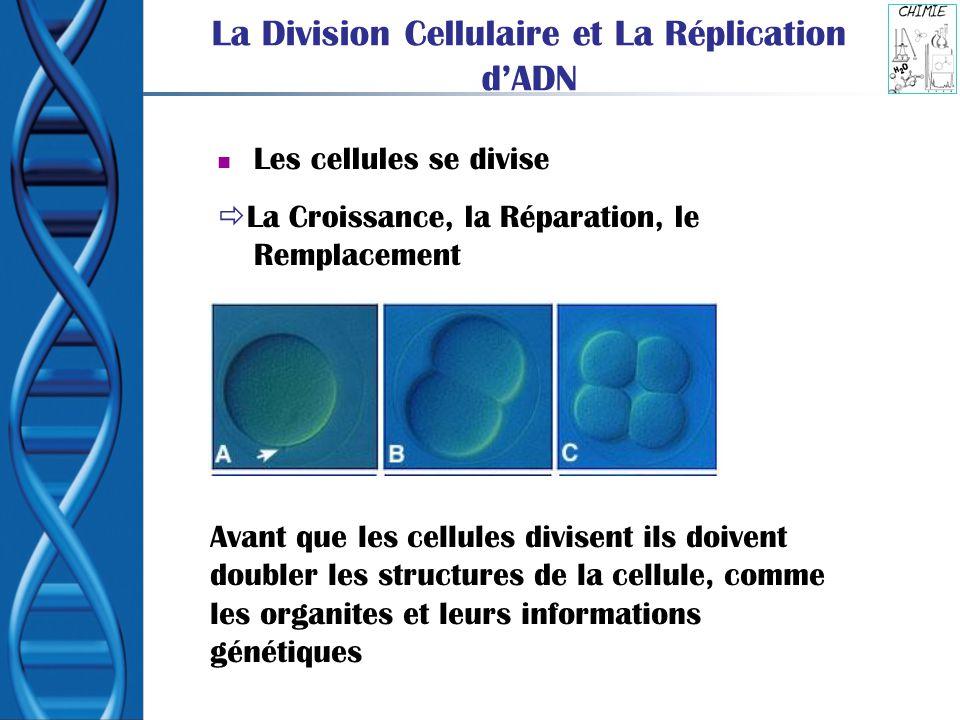 La Division Cellulaire et La Réplication dADN Les cellules se divise La Croissance, la Réparation, le Remplacement Avant que les cellules divisent ils