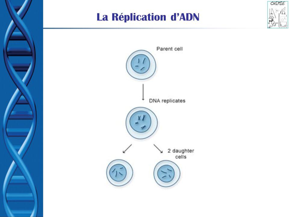 L Acide DésoxyriboNucléique ou ADN Molécule support de l information génétique héréditaire : Les gènes sont des segments d ADN.