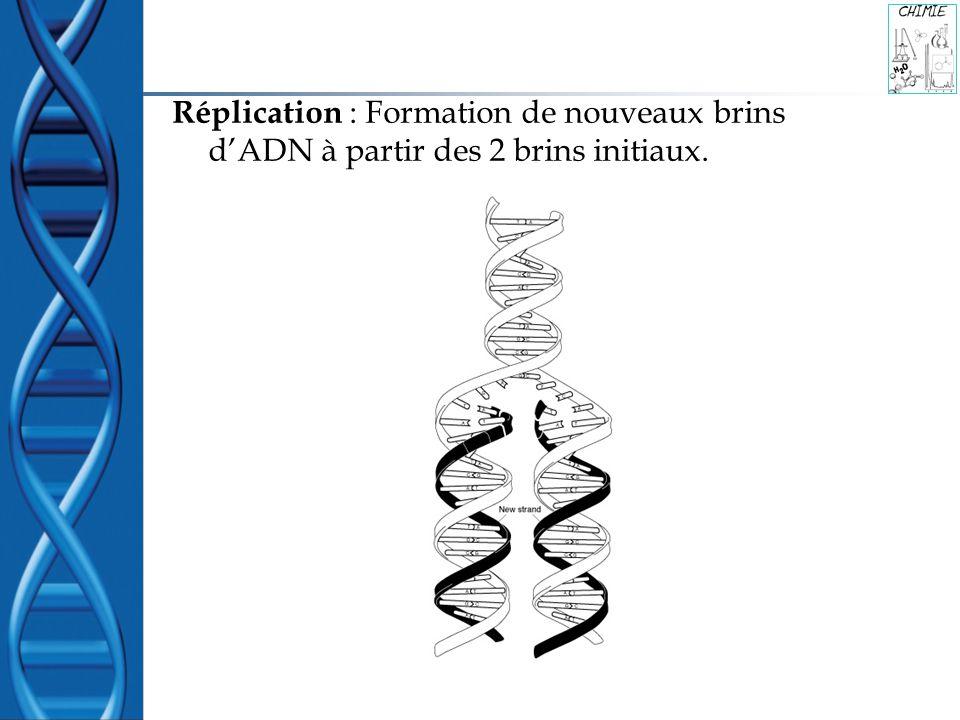 Réplication : Formation de nouveaux brins dADN à partir des 2 brins initiaux.